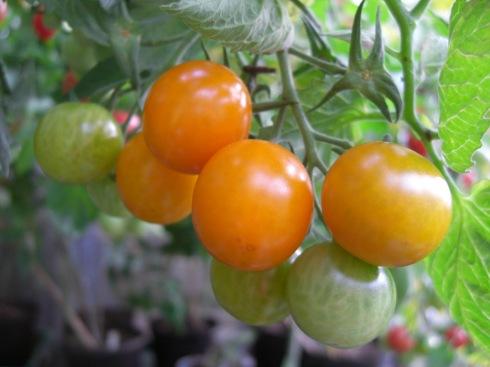 Home grown yellow tomatoes