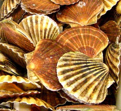 Hand dived scallops